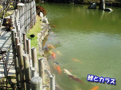 鯉とカラス