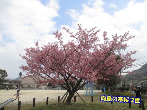 寒桜 2世