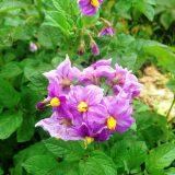 デストロイヤーの花