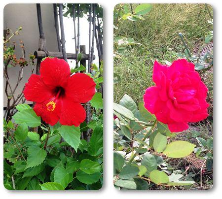 ハイビスカスと薔薇